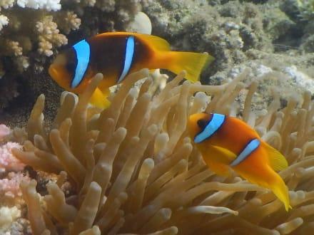 Clownfische - Hausriff Hotel Lahami Bay Berenice