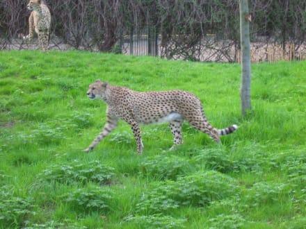 Gepard - Zoologischer Garten Köln