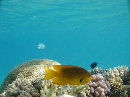 Rotes Meer, Lippfisch - Tauchen Makadi Bay