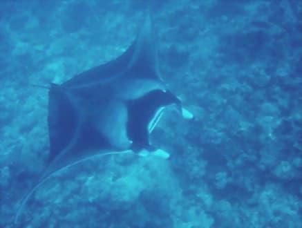 2. Manta am Manta Point - Manta Point Süd-Malé-Atoll