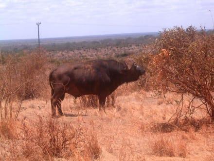 Schönes Tier - Safari
