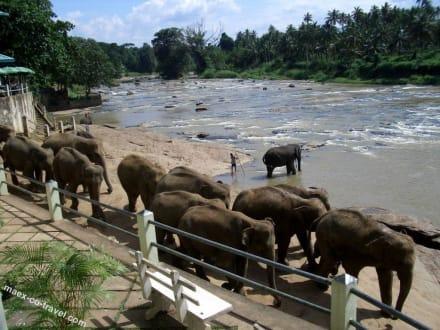 auf dem Weg zum täglichen Bad - Elefantenwaisenhaus Pinnawela