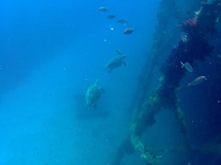 Tägliche Schildkröten an der Badeinsel - Schnorcheln Hurghada