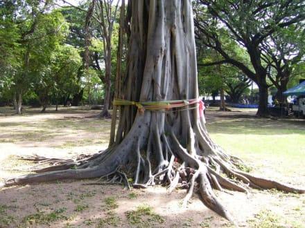 Viele Wurzeln - Khmer Tempel