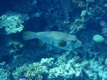Kofferfisch - Tauchen Makadi Bay
