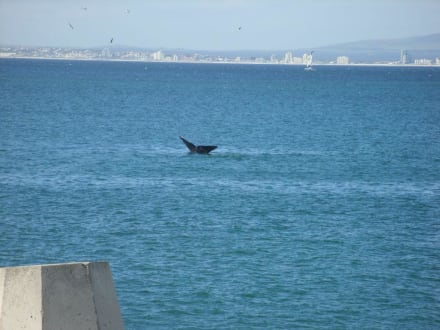Wale beobachten - Whale Watching Hermanus