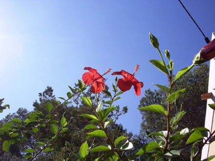Hibiskus - Cova de Can Marca