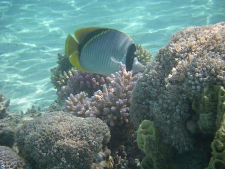 Riesenfalterfisch - Schnorcheln Coraya Bay Marsa Alam