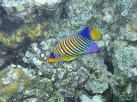 Pfauenkaiserfisch - Schnorcheln Sharm el Sheikh