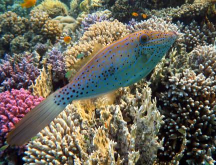 Schrift-Feilenfisch - Hausriff Hotel Lahami Bay Berenice