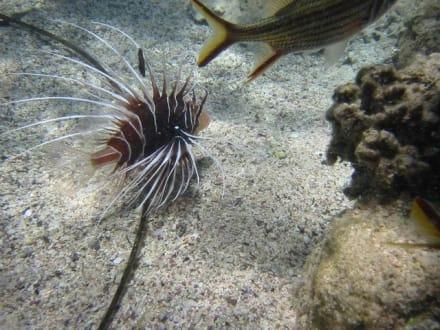 Rotfeuerfisch - Tauchen Sharm el Sheikh