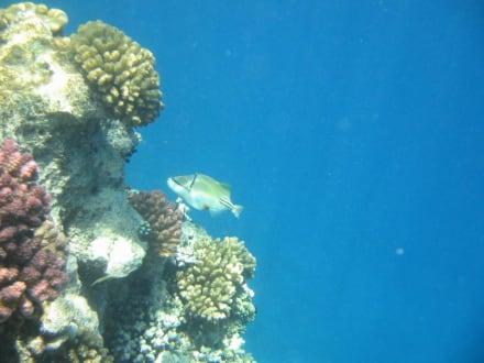 Riff mit Fisch - Schnorcheln Hurghada