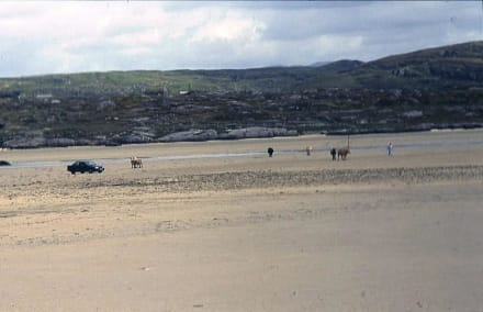 Kühe und Auto auf dem Weg zum Friedhof - Inselfriedhof