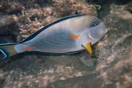 Fisch - Tauchen Safaga