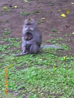 Der Affenwald! - Affenwald Bedugul
