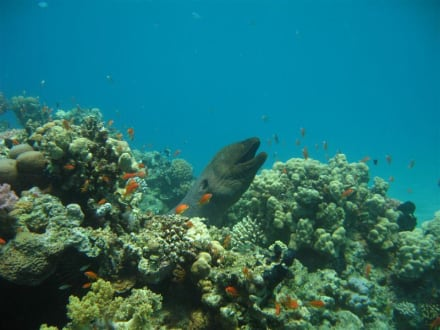 Riesenmuräne live - Schnorcheln Makadi Bay