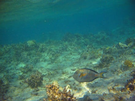 Fische am Strand am Hausriff Hotel Radisson SAS El Quseir Re - Tauchen El Quseir