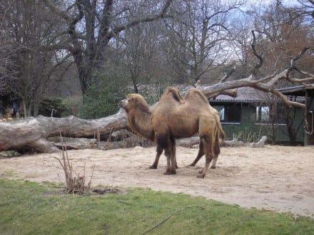 Kamel im Gehege - Zoologischer Garten Köln