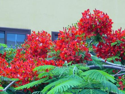 Rote Mimose - Botanischer Garten Puerto de la Cruz