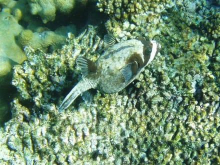 Kugelfisch - Ausflug mit Mohamed