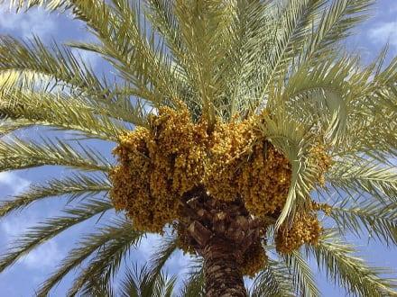 Palmenblick an der Playa de Palma/Mallorca - Strandpromenade Playa/Platja de Palma