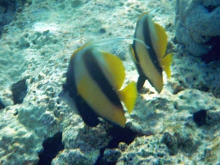 Wimpelfische - Schnorcheln Sharm el Sheikh