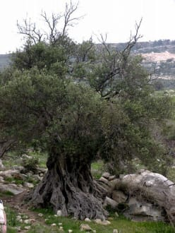 Avakás-Schlucht: knorriger Baum - Avakás-Schlucht / Avgasschlucht
