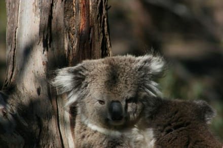 Koalababy - Koala Conservation Centre