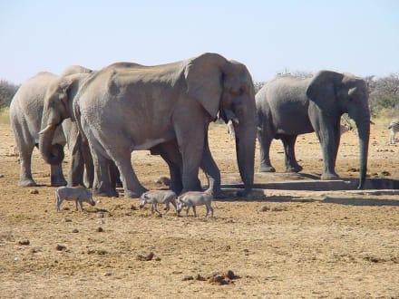 Elefanten und Warzenschweine - Etosha Nationalpark