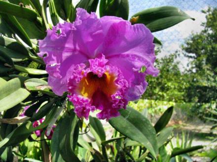 Prachtexemplar - Bali Orchideen Garten Denpasar