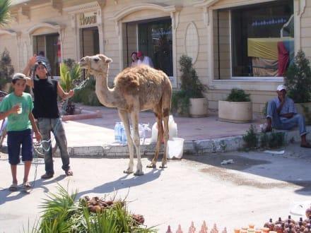 Ein echtes Kamel auf dem Kamelmarkt - Kamelmarkt Nabeul