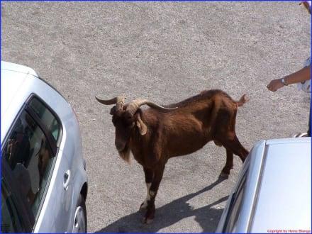 Ein Ziegenbock auf Reisen - Cap Formentor