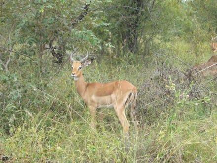 Impala - Krüger Nationalpark