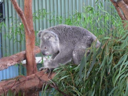 Fotogenes Koala-Weibchen - Billabong Koala & Wildlife Park