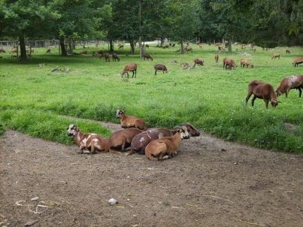 Kamerunschafe - Wildpark Poing