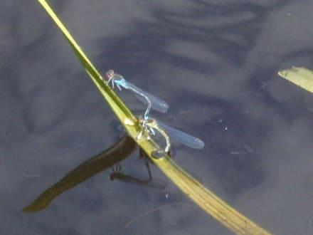 Libellen auf dem Wasser! - Vogelkojen