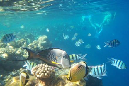 Fische und Schnorchler - Schnorcheln Sharm el Sheikh