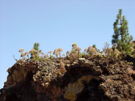 Vulkan Landschaft und Pflanzen - Teide Nationalpark
