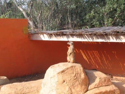 Erdmännchen - Friguia Park
