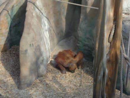 Orang-Utan Gehege - ZOOM Erlebniswelt Gelsenkirchen (Zoo)