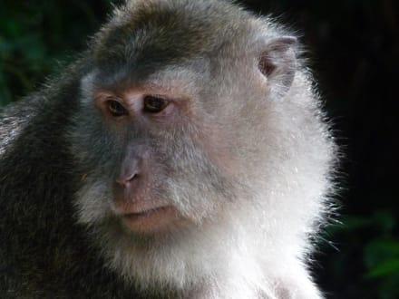 Ein zufrieden schauender Affe - Affenwald Ubud