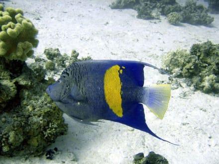 Arabischer Kaiserfisch - Adventurer-Diving (geschlossen)