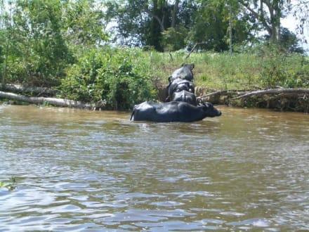 Wasserbüffel - Orinoco Delta
