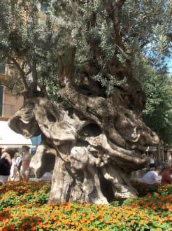 Olivenbaum - Stadtrundfahrt Palma