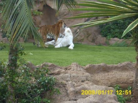 Bengalische Tiger - Loro Parque