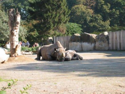 Nashorn mit Nachwuchs - Zoo Krefeld