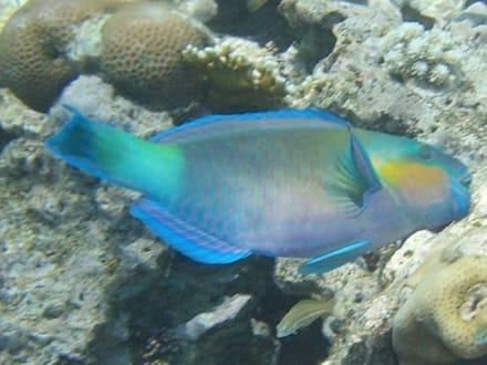 Papageienfisch - Schnorcheln Ras Mohammed