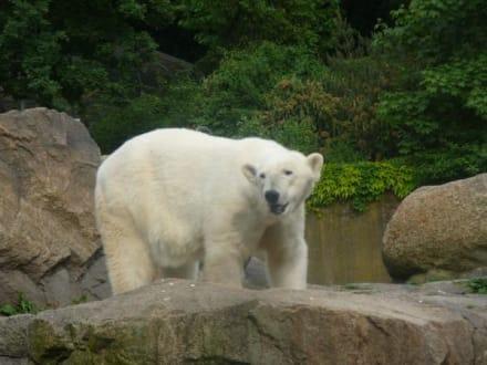 Eisbär - Tierpark Friedrichsfelde