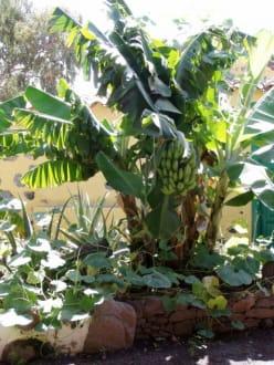 bananenpflanze bild finca molino de agua de fataga in. Black Bedroom Furniture Sets. Home Design Ideas