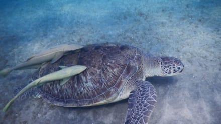 Schilkröte mit Schiffshalter - Tauchen Abu Dabab